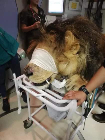 A lion is being treated for skin cancer in South Africa. Credit: Kara Heynis