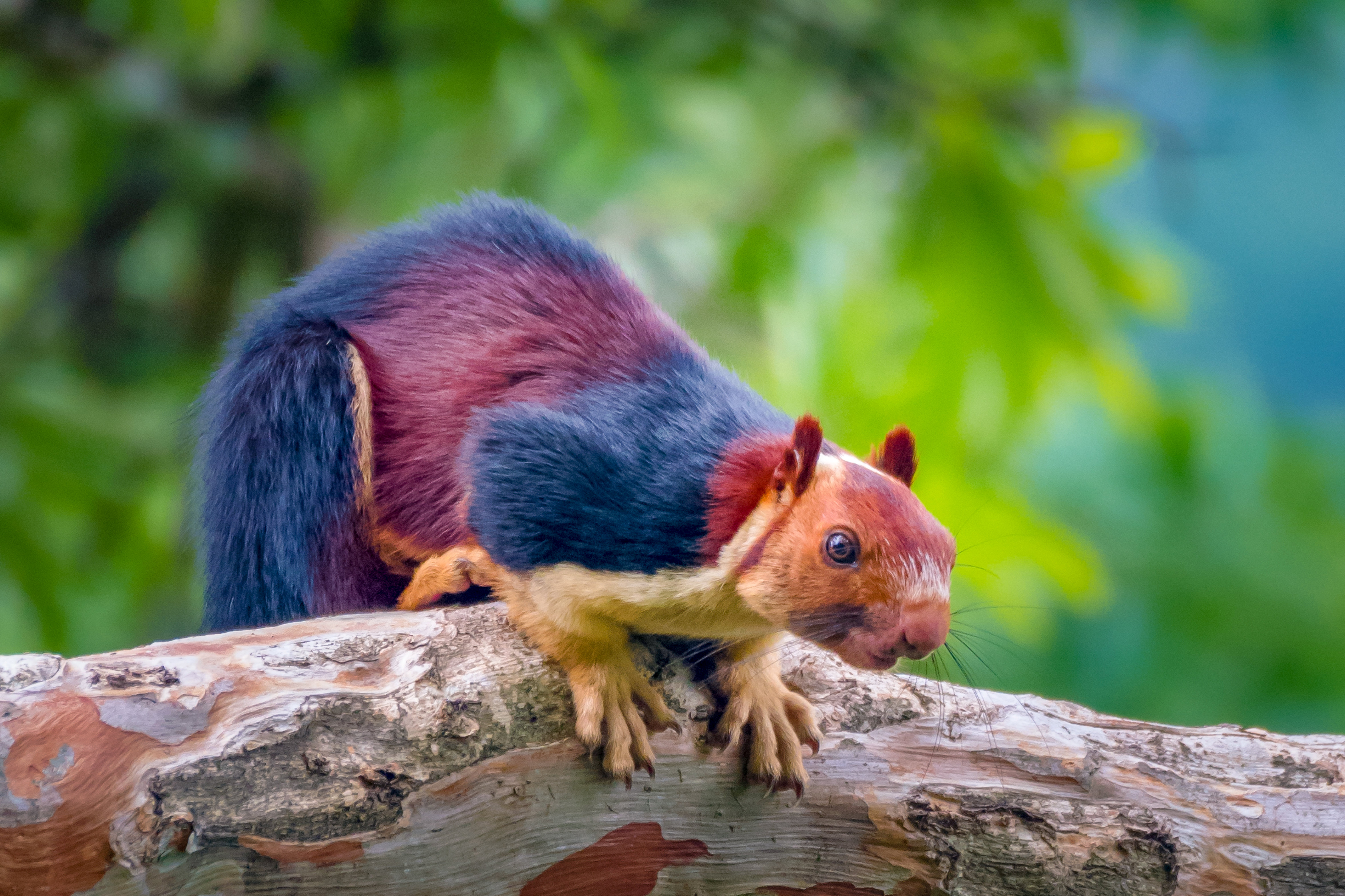 The squirrels measure up to 36 inches but can jump 20 foot. Credit: SWNS