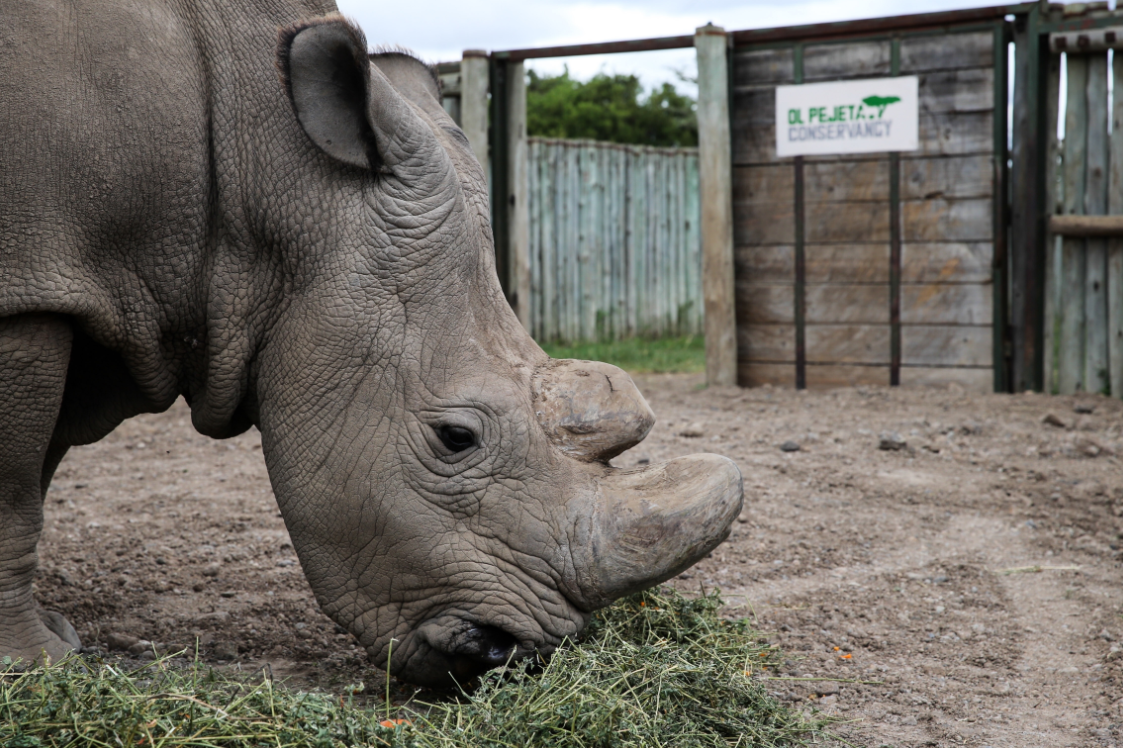 World's Last Male Northern White Rhino Honoured In Memorial Ceremony
