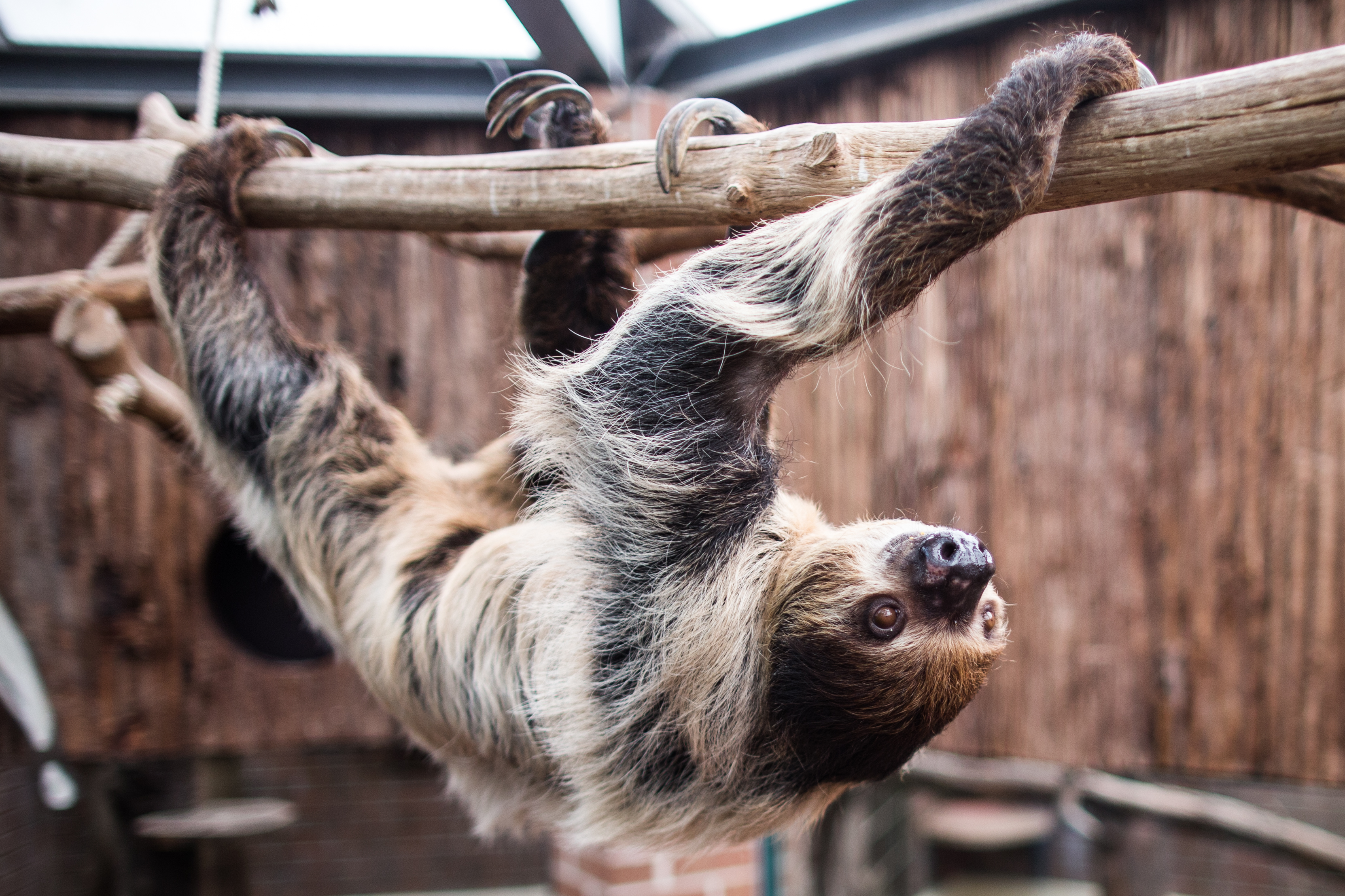 A two-toed sloth. Credit: PA