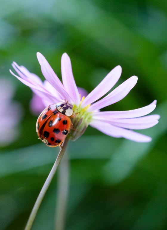 A harlequin ladybird. Credit: PA