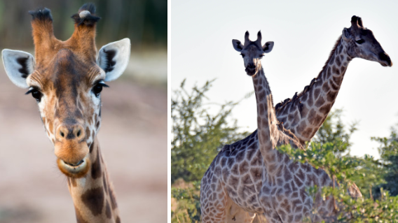 Dream Job Alert: Chester Zoo Needs Someone To Look After The Giraffes