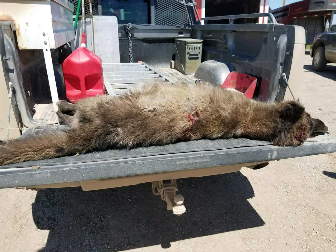 Weird 39 wolf like creature 39 found in montana is baffling for Fish wildlife and parks