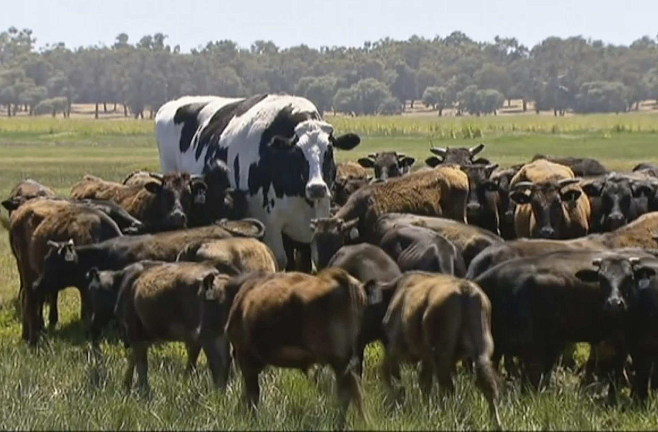 """短裤巨大的牛——对不起——""""引导""""。信贷:爸爸"""