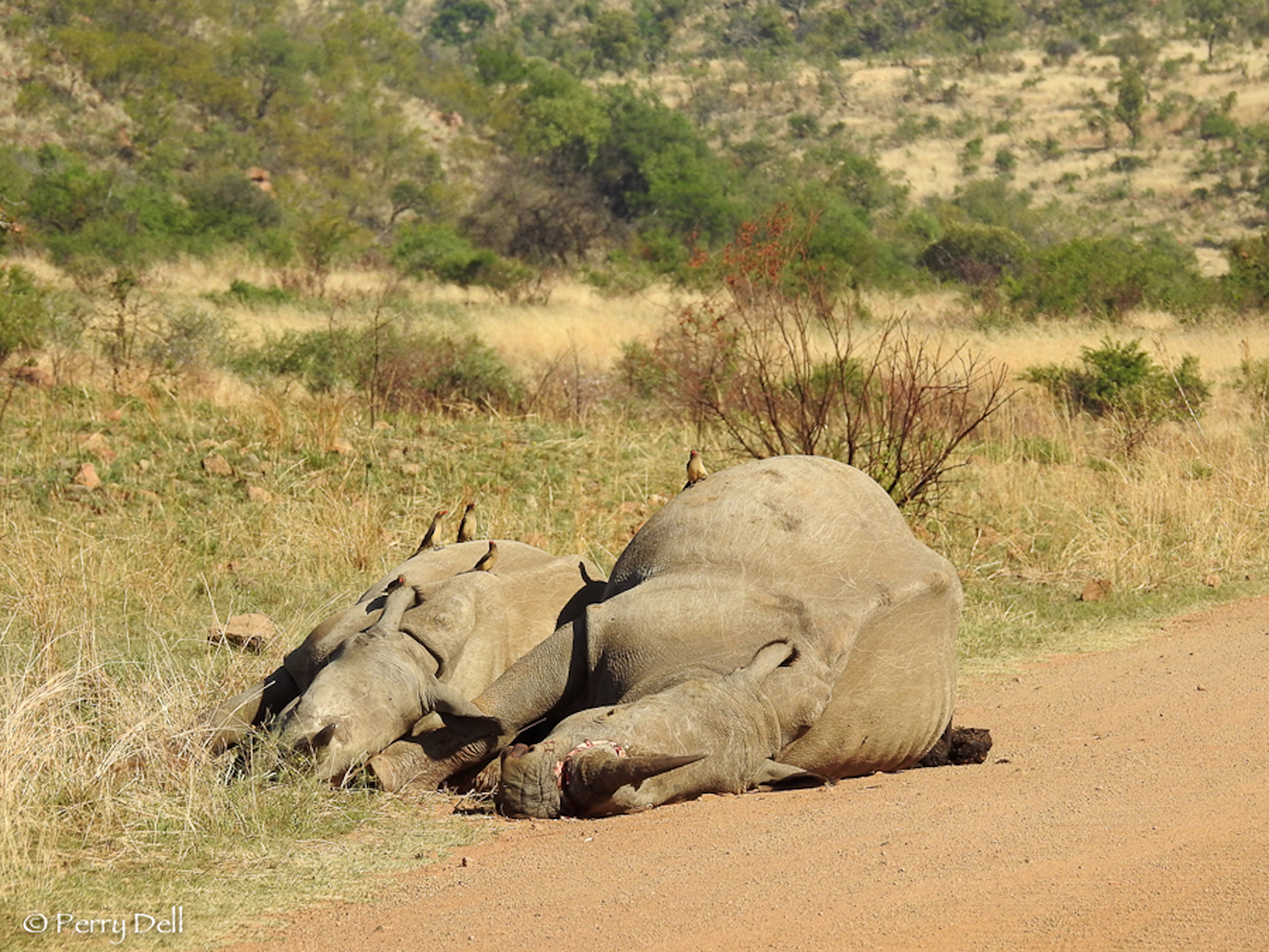 Poaching is a big contributor to the extinction of wild animals. Credit: PA