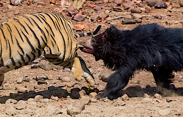 Sloth Bear Chases Off Tiger After Amazing Tussle Ladbible