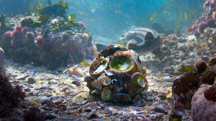'Blue Planet II' Catches Octopus Making Armour From Shells For The First Time Ever