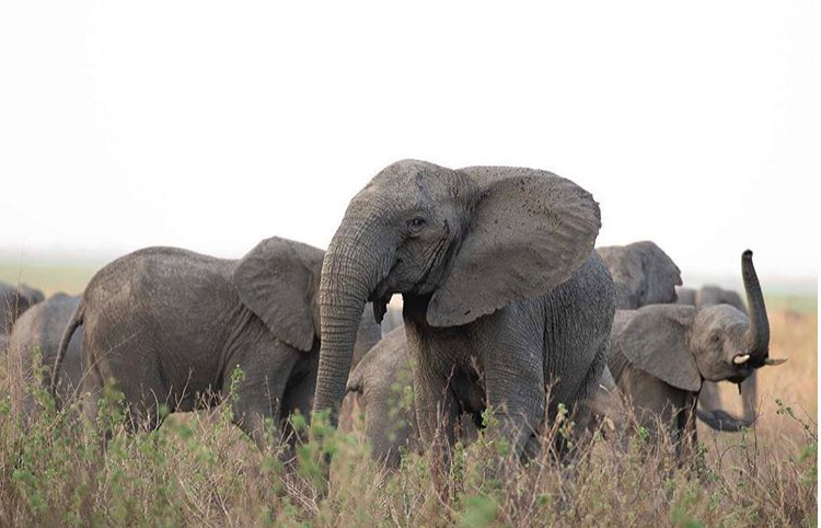 Elephants Are Evolving To Be 'Tuskless' Because Of Poachers Credit: ElephantVoices