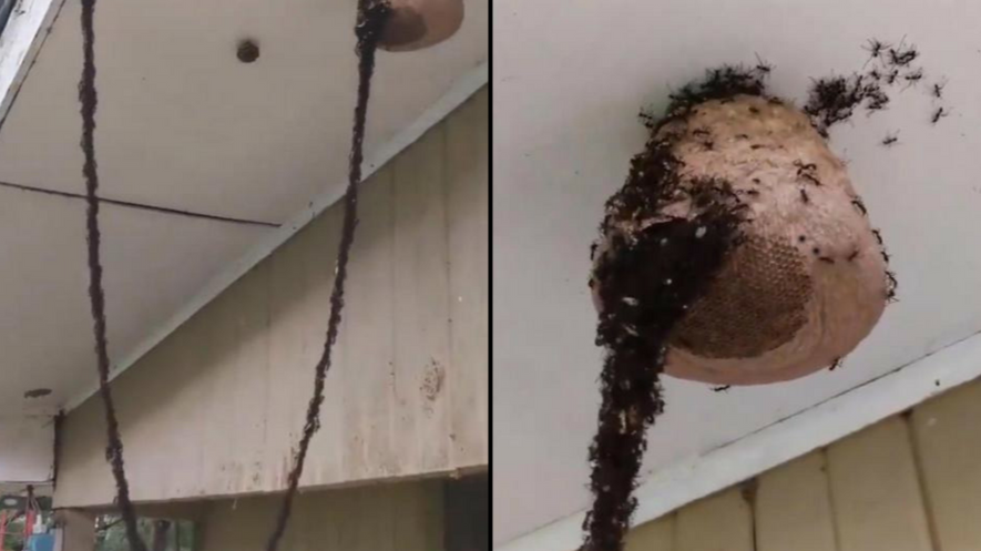 Unbelievable Footage Shows Millions Of Ants Building Bridge Together To Attack Wasp's Nest